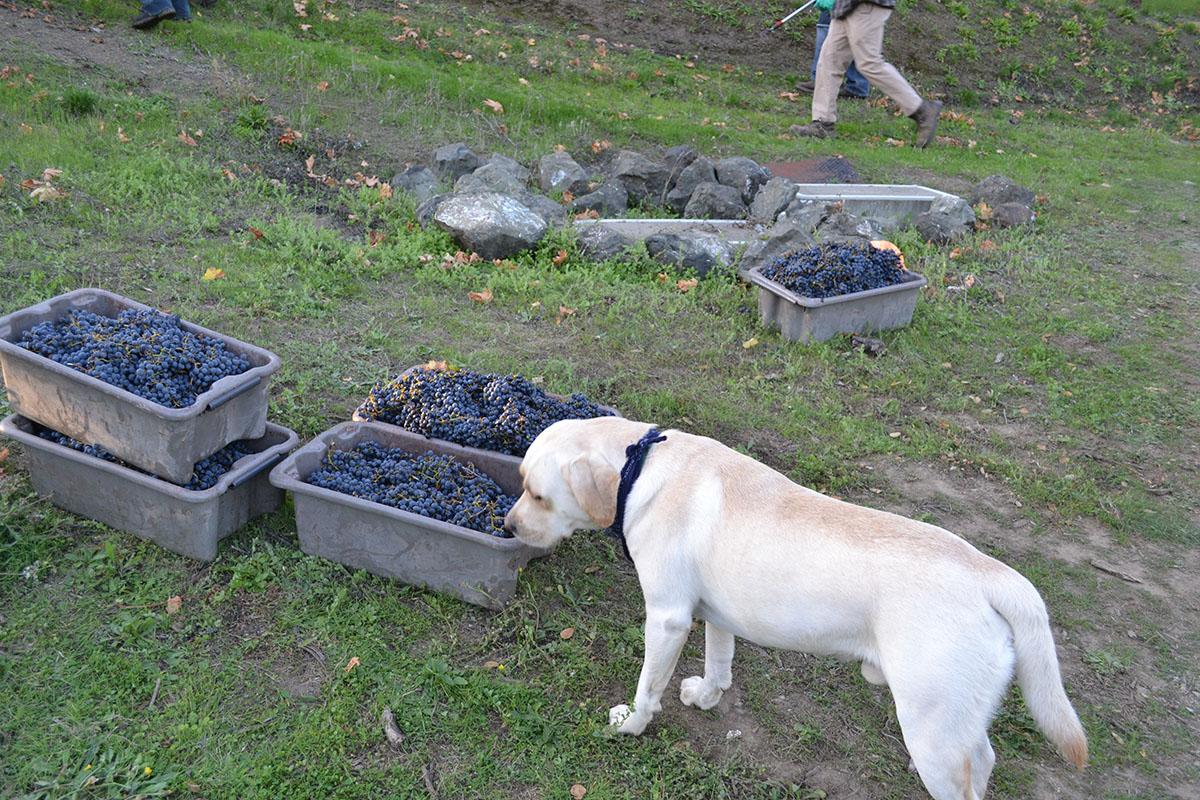 pup sniffs grapes